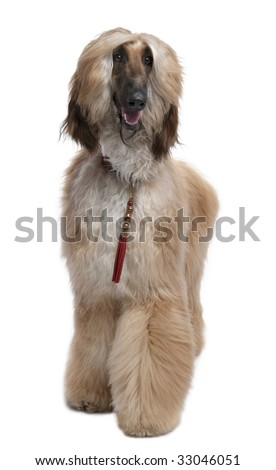 Young Brown Grommed Afghan Hound (1 years)  in front of a white background