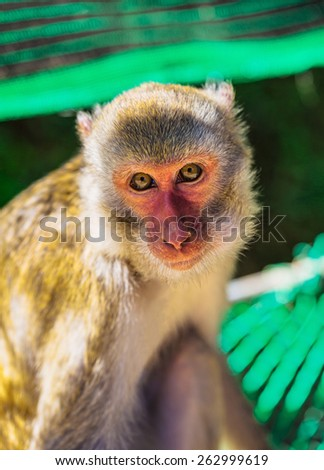 Young Brown Monkey in Dalat in Vietnam - stock photo