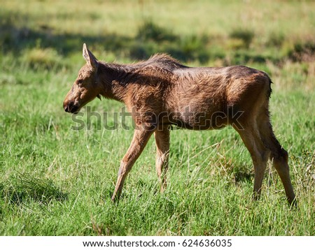 Young brown moose walking on green grass at summertime meadow.