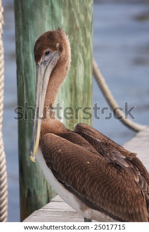 Young brown pelican with posing on the dock