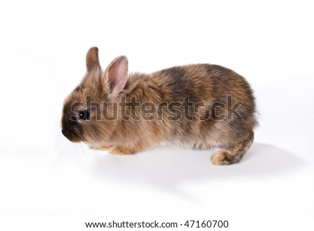 Young brown rabbit walking on a white background