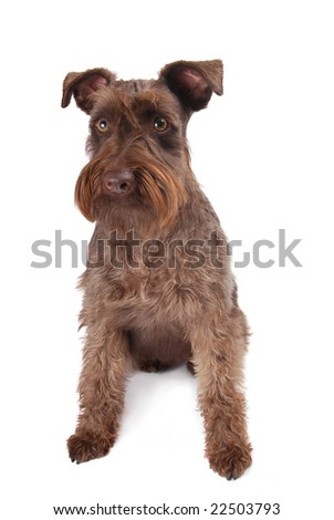 Young Brown Schnauzer on a white background - stock photo