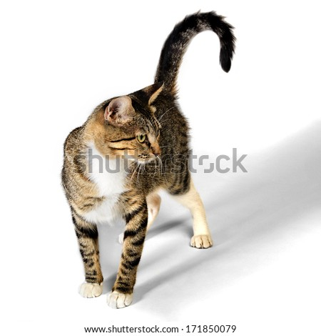 Young Brown Tabby Kitten Cat isolated on White Background - stock photo