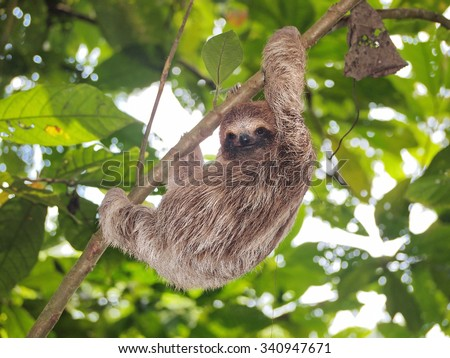 Young brown-throated three-toed sloth climbing on a branch in the jungle, Panama, Central America - stock photo