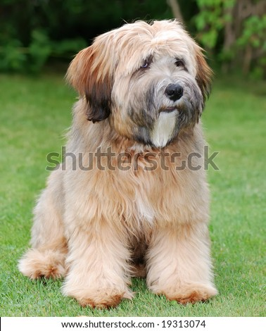 Tibetan Terrier Mix Puppies Young brown tibetan terrier