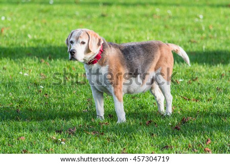 Young brown white dog on a green meadow