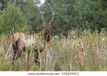 Young Bull Elk in lush wetland / riparian / stream side habitat Rocky Mountain Elk, Cervus canadensis  Montana big game elk & deer hunting - stock photo