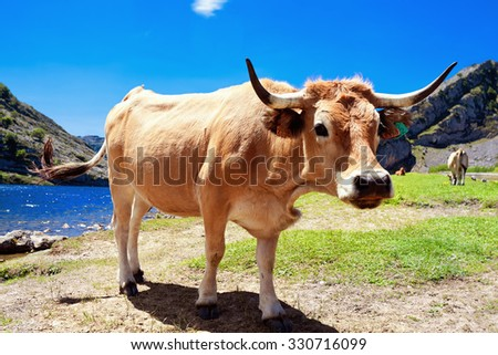 Young bull in a pasture near Lake Enol. Cantabrian. Covadonga. Asturias. Spain. - stock photo