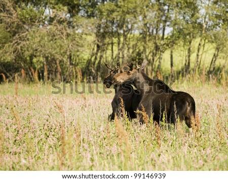 Young Bull Moose in field Saskatchewan Canada - stock photo