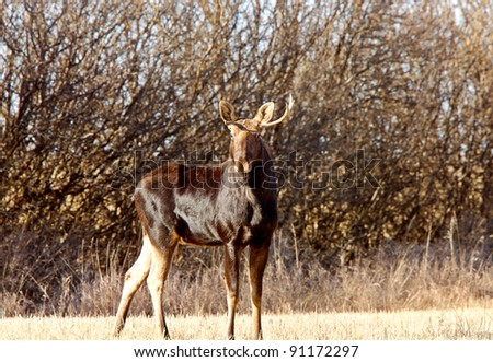 Young Bull Moose in prairie field - stock photo