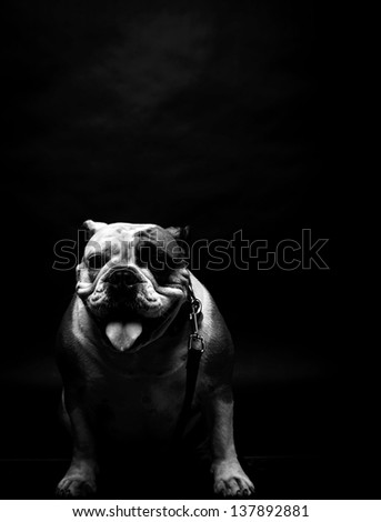 Young bulldog in studio in black and white
