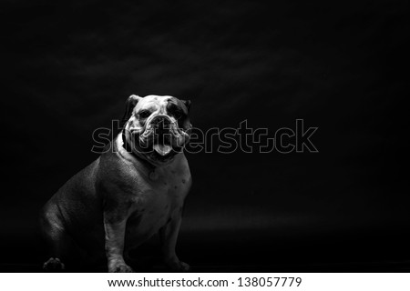 Young bulldog in studio in black and white - stock photo