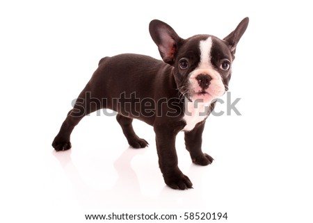 Young bulldog isolated on white