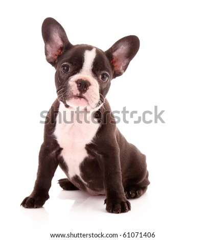 Young bulldog isolated on white - stock photo