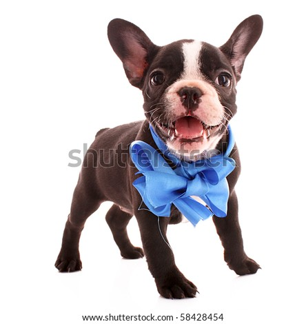 Young bulldog with blue bow isolated on white - stock photo