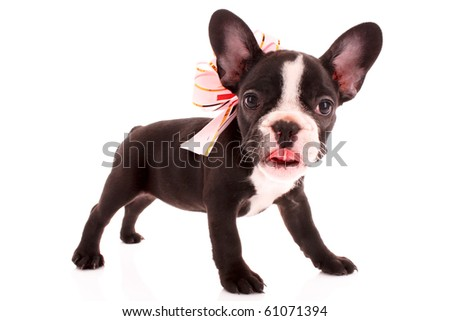Young bulldog with bow isolated on white