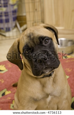 Young Bullmastiff Puppy in situation setting, 9 weeks old - stock photo
