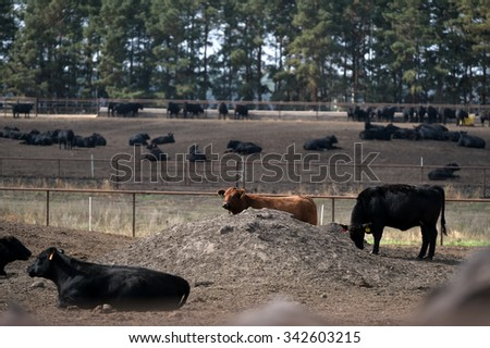 Young bulls of the Aberdeen-Angus breed is at a feedlot - stock photo