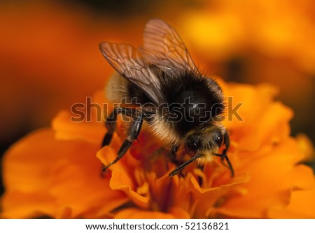 Young bumblebee on the orange flower - stock photo