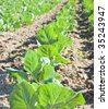 Young cabbage plant in a farm field - stock photo