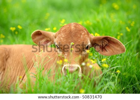 Young calf in the grass - stock photo