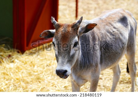 Young Calf or Cow - stock photo