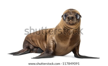 Young California Sea Lion, Zalophus californianus, portrait, 3 months old against white background - stock photo