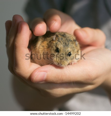 Young campbell's dwarf hamster (Phodopus campbelli) in woman hands - stock photo