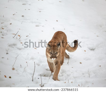Young Canadian cougar ,Puma in the woods, single cat on snow, wildlife America - stock photo