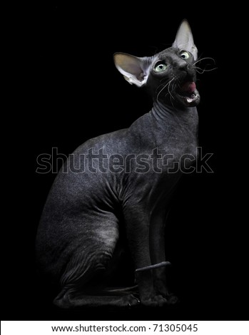 Young canadian sphynx cat looking up on black background - stock photo