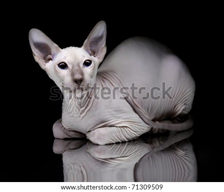 Young canadian sphynx cat on black background - stock photo