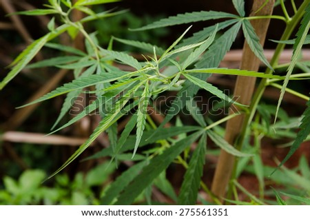 Young cannabis plant marijuana plant detail - stock photo