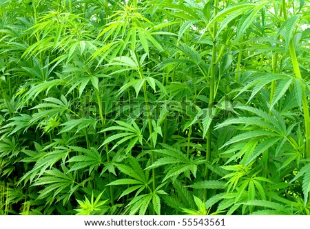Young cannabis plants - stock photo