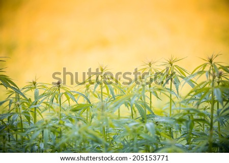 Young cannabis plants, marijuana, close-up. - stock photo