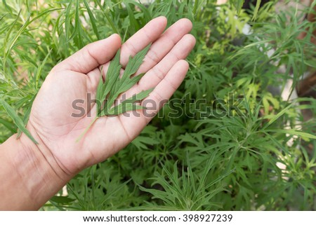 Young cannabis plants, marijuana leaf in hand - stock photo