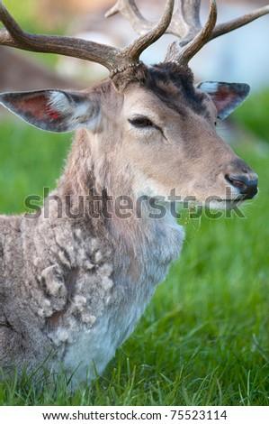 young captive male Fallow Deer (lat. dama dama) sitting on a green meadow - stock photo
