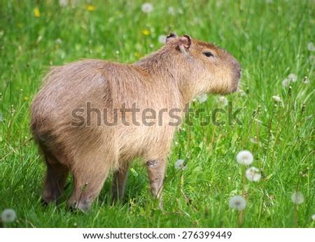 Young capybara - stock photo