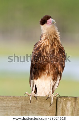 Young Caracara Sitting on Fence - stock photo