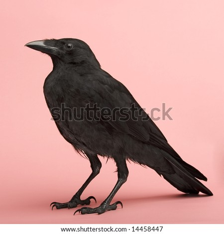 Young Carrion Crow - Corvus corone (3 months) in front of a pink background - stock photo