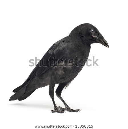 Young Carrion Crow - Corvus corone (3 months) in front of a white background - stock photo