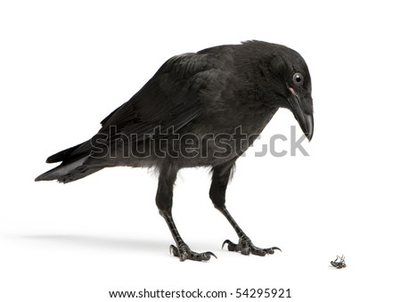 Young Carrion Crow Looking down at a dead fly - stock photo