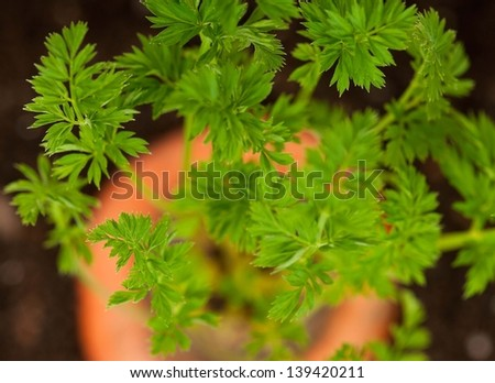 Young carrot tops of vegetable in organic soil close-up - stock photo