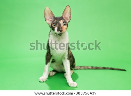 Young cat breed Cornish Rex sits on a green background