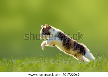 Young cat jumps over a meadow in the backlit - stock photo