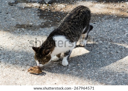 Young cat playing with a mouse outside of a farm - stock photo