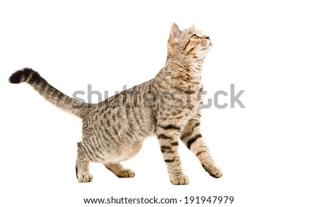 Young cat Scottish Straight curious looking up - stock photo