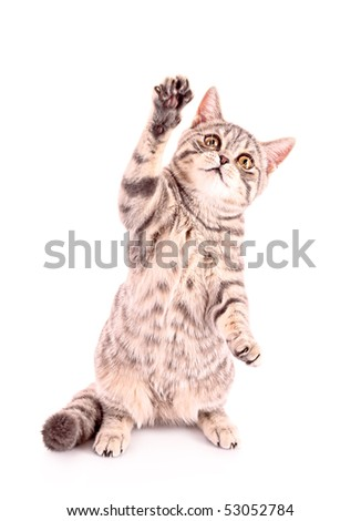 Young cat show paw isolated on white - stock photo