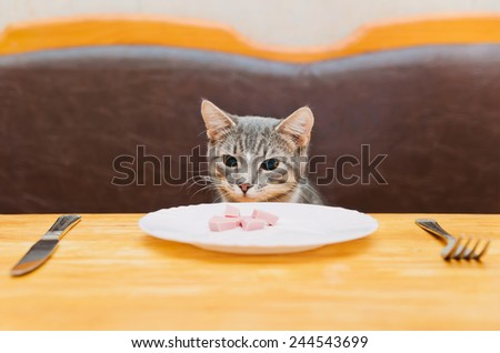 young cat sitting and looking to food of kitchen plate. focus on cat - stock photo