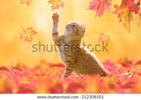 Young cat with blue eyes, playing in autumn leaves - stock photo