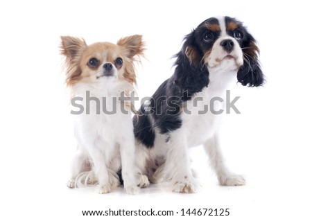 young cavalier king charles with a chihuahua in front of white background
